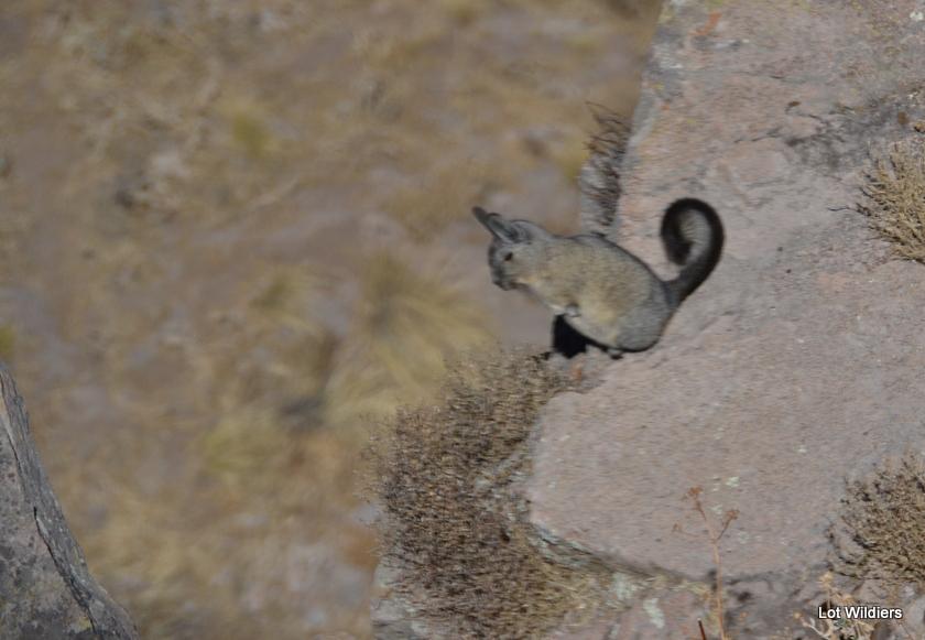 Het eigenaardige bergkonijn bij Cruz del Condor.