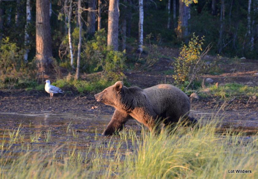Wilde beren in Kuusamo