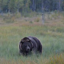 Beren kijken in Fins Lapland