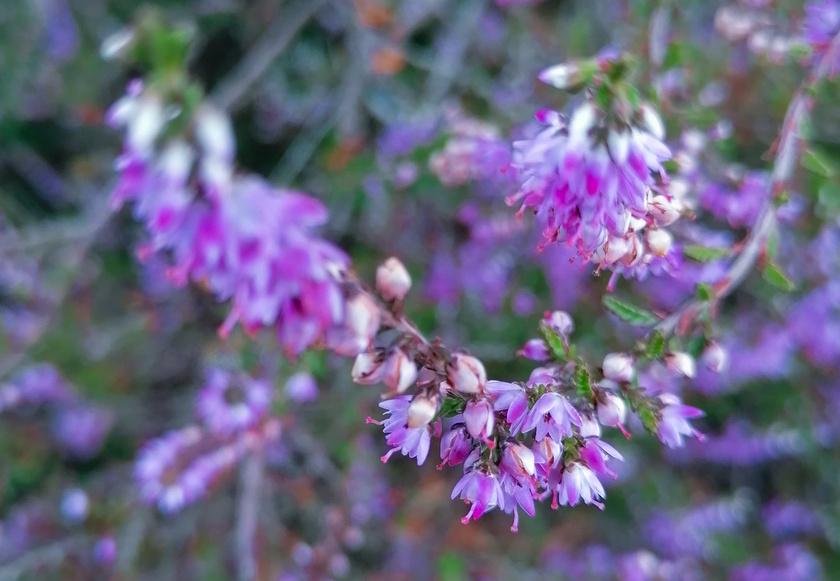 Heide is een vrolijk klein plantje.